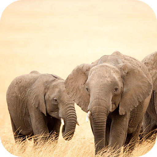 Elephant Wallpaper Hd Amazones Appstore Para Android