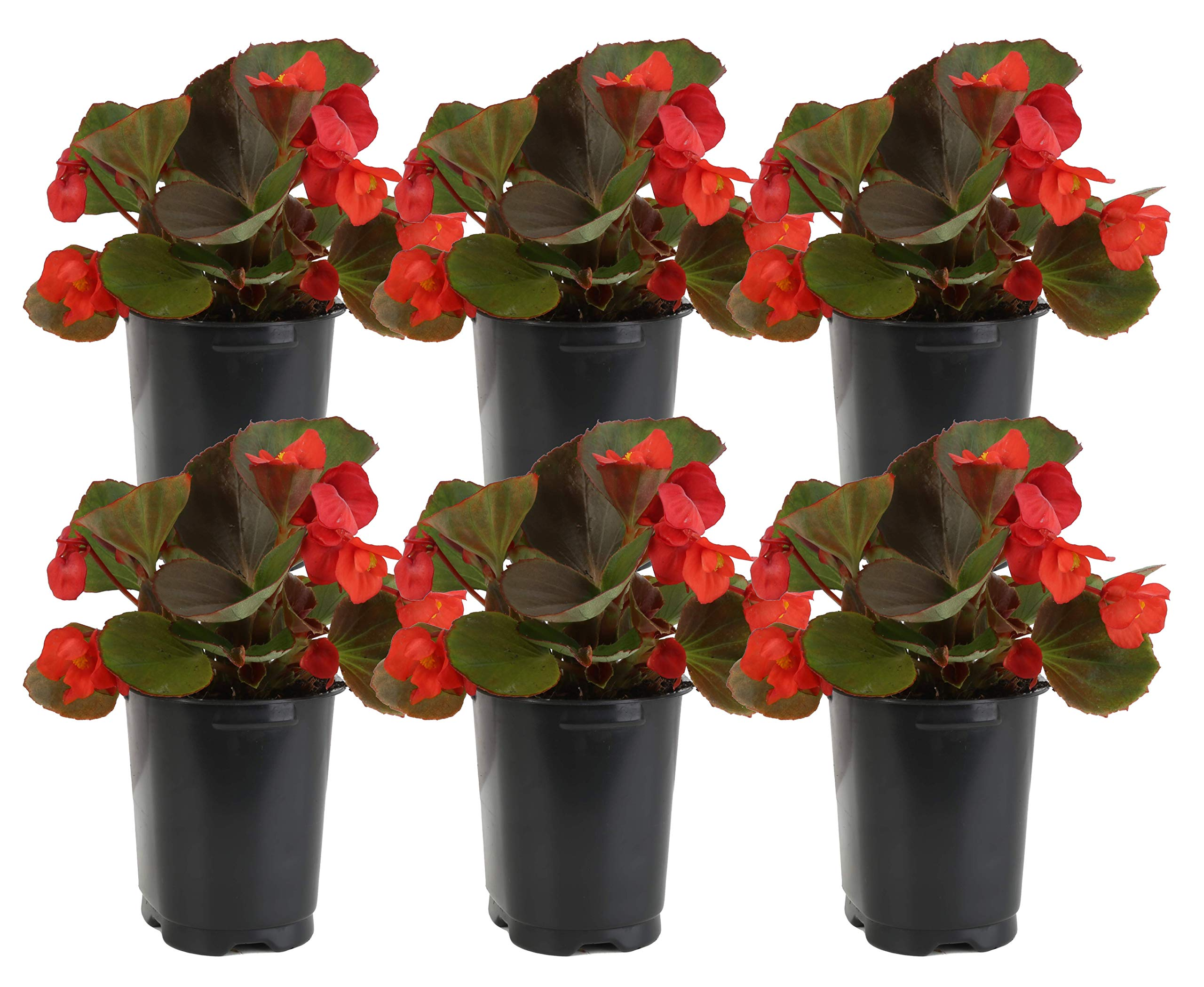 Costa Farms Begonia Live Outdoor Plant 1 PT Grower's Pot, 6-Pack, Red