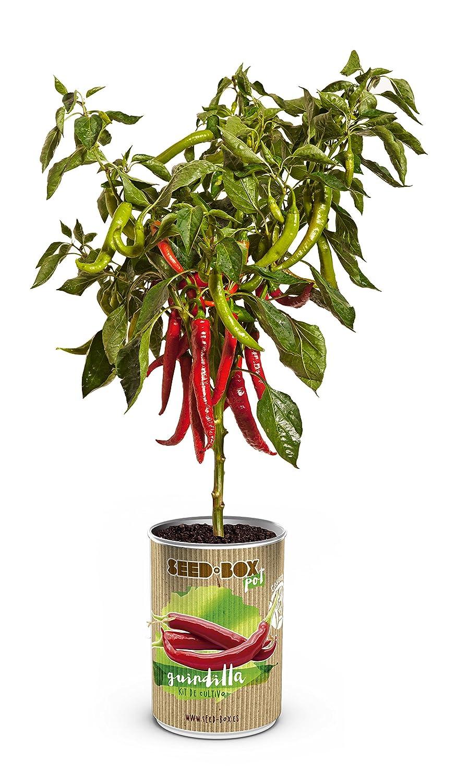 SeedBox PGPTBRS Lata de Cultivo brotes Soja Verde, 0.7x0.7x9 cm ...