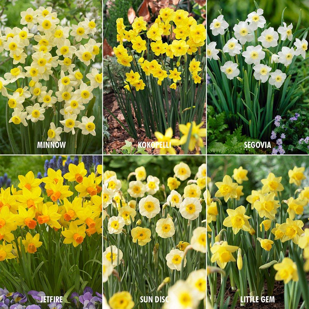 Van Zyverden Award Winning Perennial Deer Resistant Daffodil Blend Set of 30 Bulbs by VAN ZYVERDEN