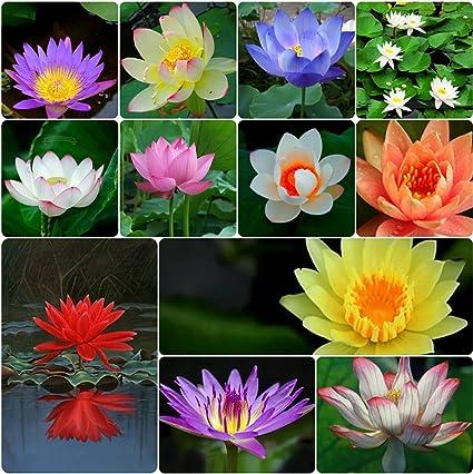 Shop 360 Garden Lotus Flower Seeds Rare 12 Types Seeds 5 Seeds