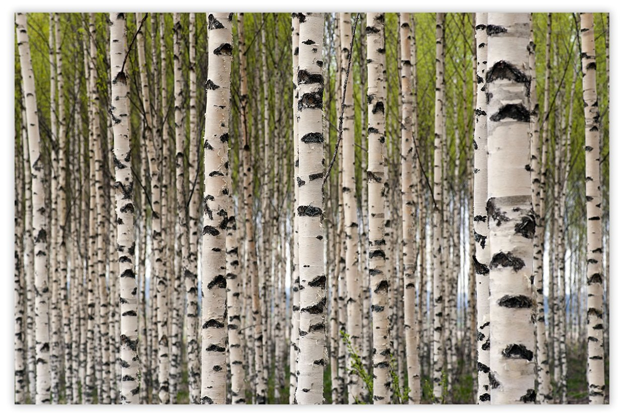 Picture Sensations Glow in The Dark Canvas Wall Art, Birch Tree Forest