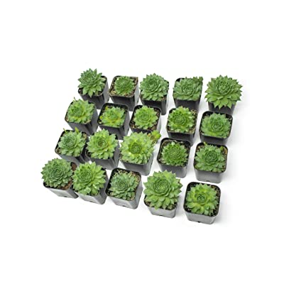 Fractal Succulents(20 Pack) Live Sempervivum Houseleek SucculentRooted in Pots | Flowering Plant Leaves /Geometric Rosettes by Plants for Pets : Garden & Outdoor