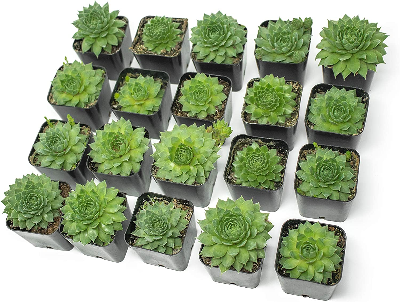 Amazon Com Fractal Succulents 20 Pack Live Sempervivum Houseleek Succulent Rooted In Pots Flowering Plant Leaves Geometric Rosettes By Plants For Pets Garden Outdoor