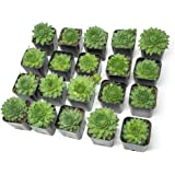 Fractal Succulents (20 Pack) Live Sempervivum Houseleek Succulent Rooted in Pots | Flowering Plant Leaves / Geometric Rosettes by Plants for Pets