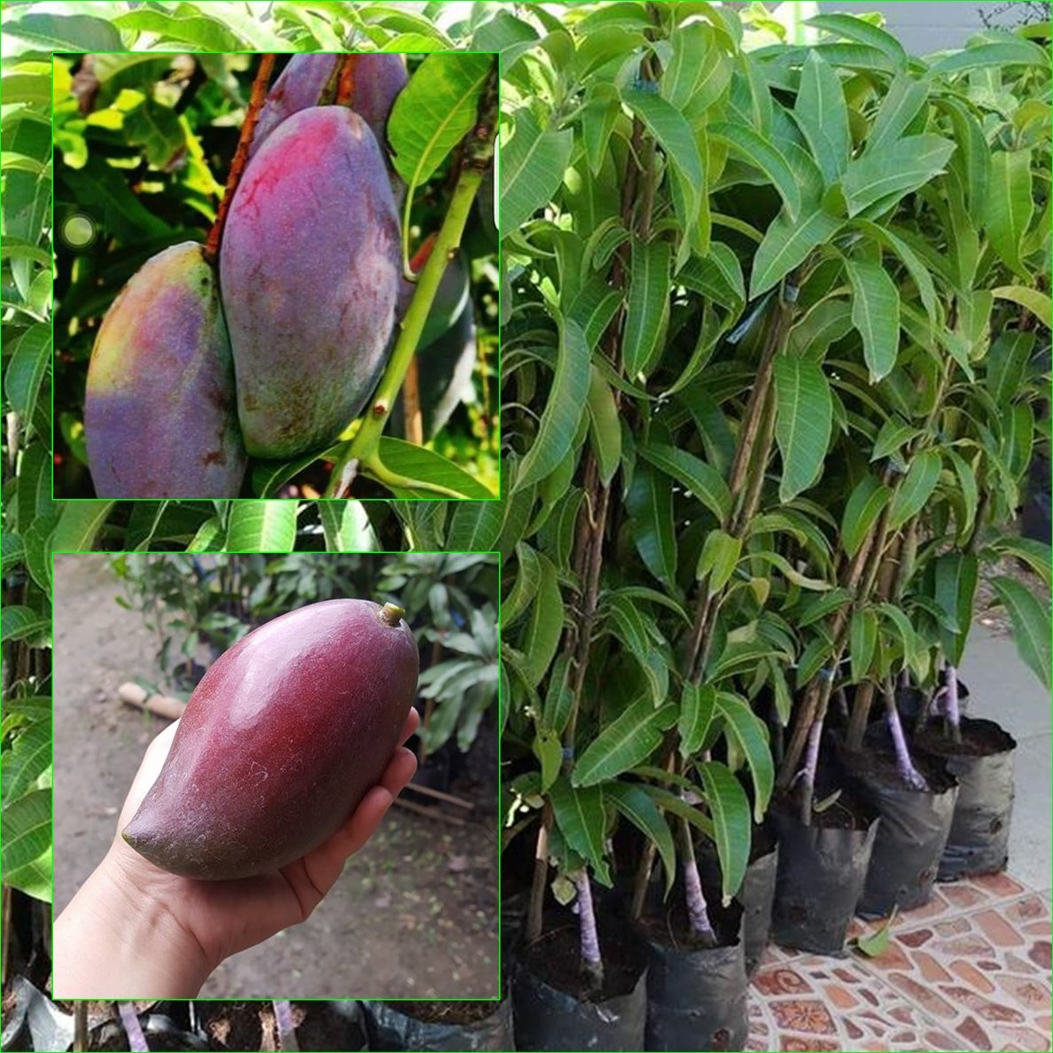 1 GRAFTED Mango Tree plant Nam-Dok-Mai Si Mueng 18'' Tall Thai Purple Mango Fruit Juicy Direct from Thailand Free Phytosanitary Cert.