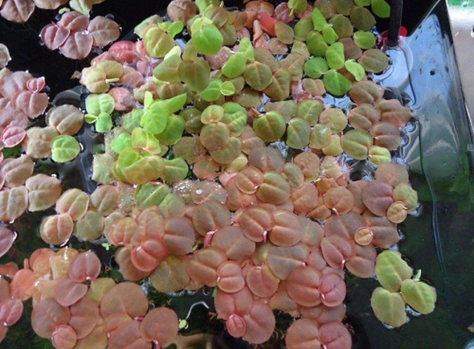 Hot Sale! 5+ Phyllanthus Fluitans Live Aquarium Plants Red Root Floater Floating Frogbit