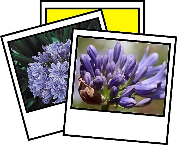 Agapanthus praecox Blue lily 50 seeds