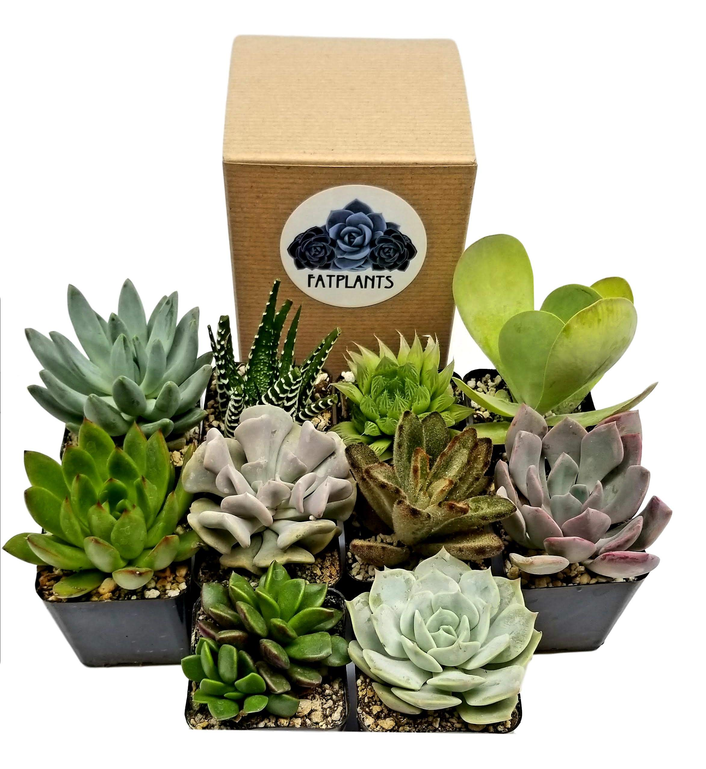 Fat Plants San Diego 2 inch Premium Succulent Plants in Pots (9)