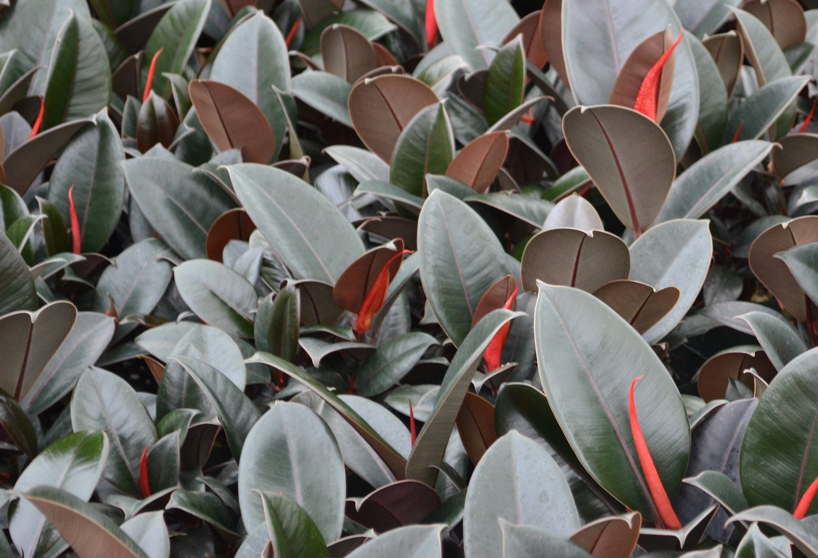 Ficus Ruby (Rubber Plant), 6''
