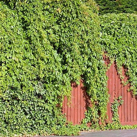 Amazon Com 50pcs Green Ivy Plants Seeds Evergreen Fast Growing