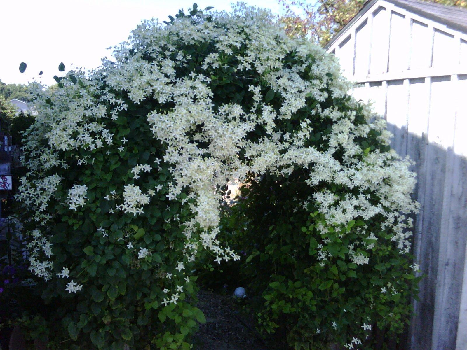Hirt's Gardens Sweet Autumn Clematis Vine - Clematis paniculata - Fragrant - 2.5'' Pot