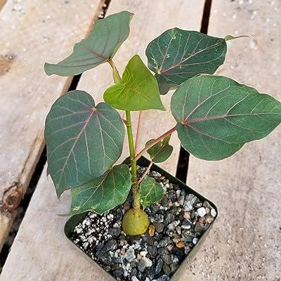 Ficus petiolaris fig Rock Cactus Cacti Succulent Real Live Plant : Industrial & Scientific