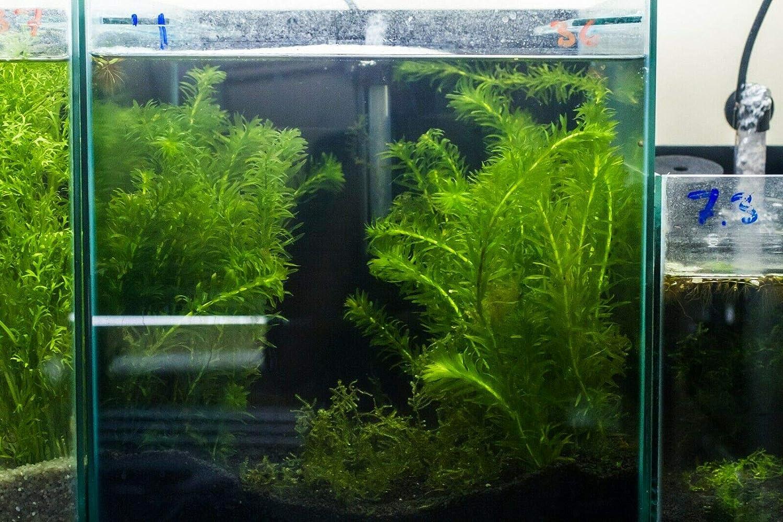 3 x Bunch Live Aquarium Plant Elodea Densa Bunch