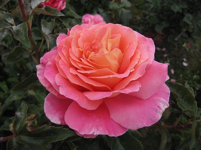 AUDREY WILCOX - 4lt Potted Hybrid Tea Garden Rose Bush - Super large flowers, Highly Fragrant Cerise Pink, Silver Reverse, Healthy Grower