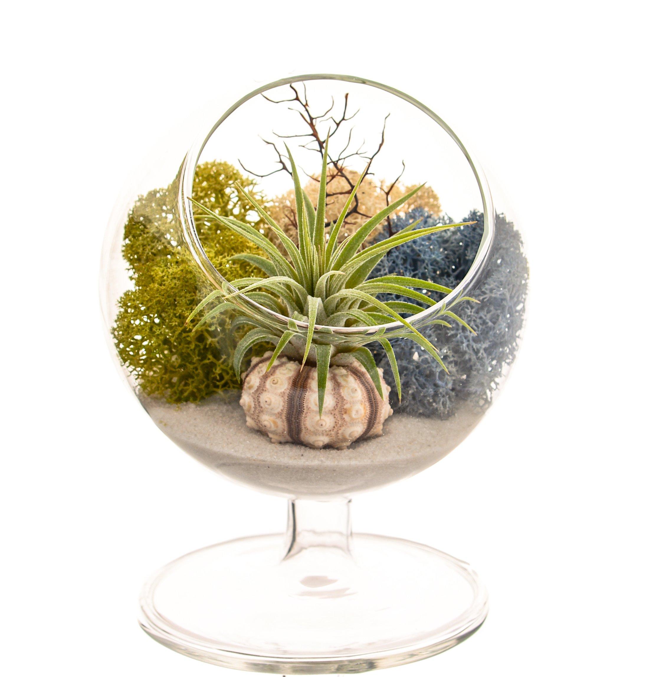 Bliss Gardens Air Plant Terrarium/4'' Round Glass Pedestal Kit/Multi Moss by Bliss Gardens