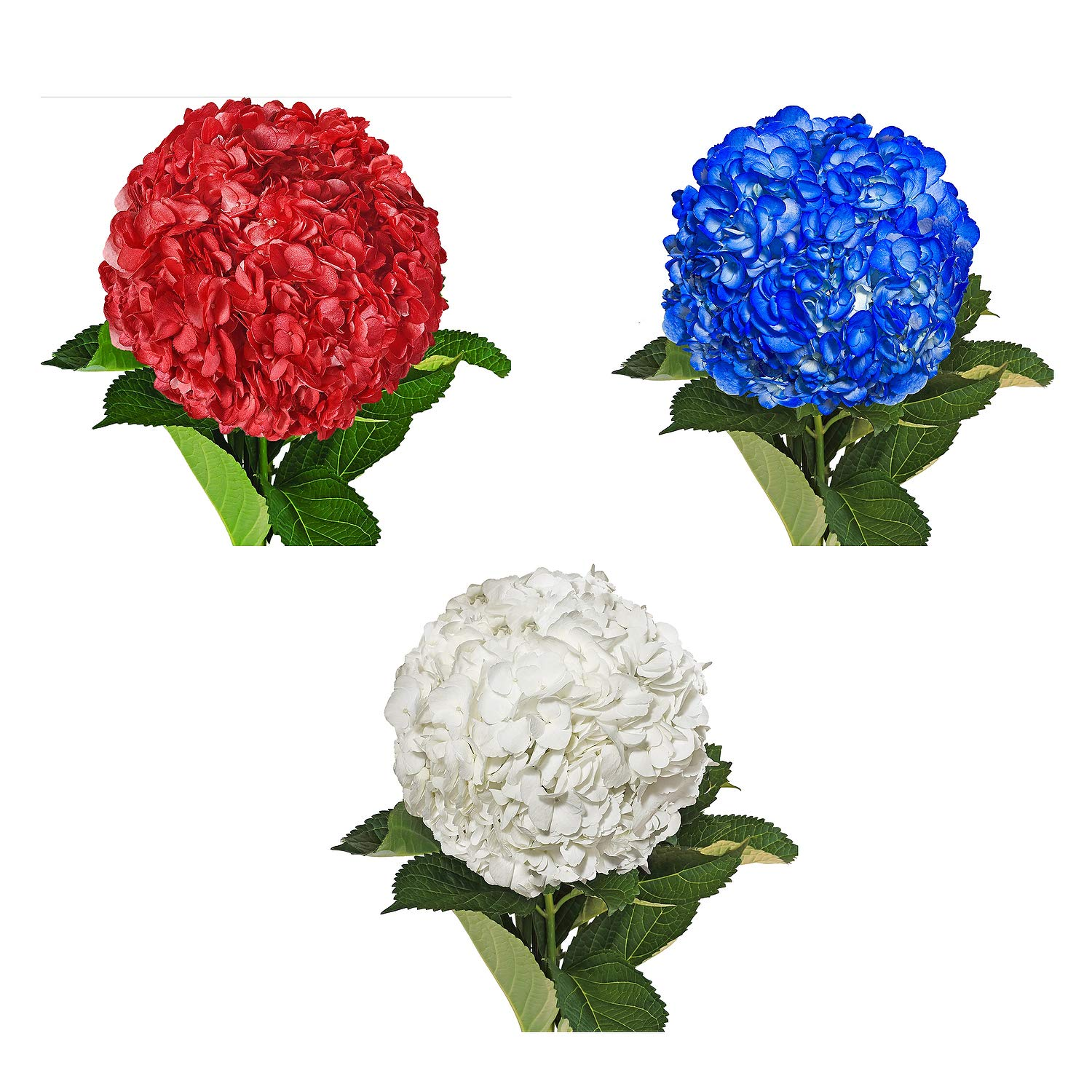 Farm Fresh Natural Painted White, Red & Blue Hydrangeas - Pack 15 by Bloomingmore (Image #1)