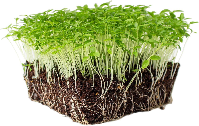Dark Green Italian Flat-Leaf Parsley Seeds: 5 Lb - Bulk, Non-GMO Herb Seeds for Herbal Garden & Microgreens