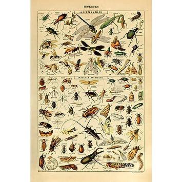 Amazon.com: clásico Póster Impresión Arte insectos ...