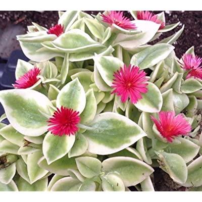 "APTENIA CORDIFOLIA 'HEARTLEAF ICEPLANT', Baby Sun Rose', RED Apple' 2"" Pot : Garden & Outdoor"