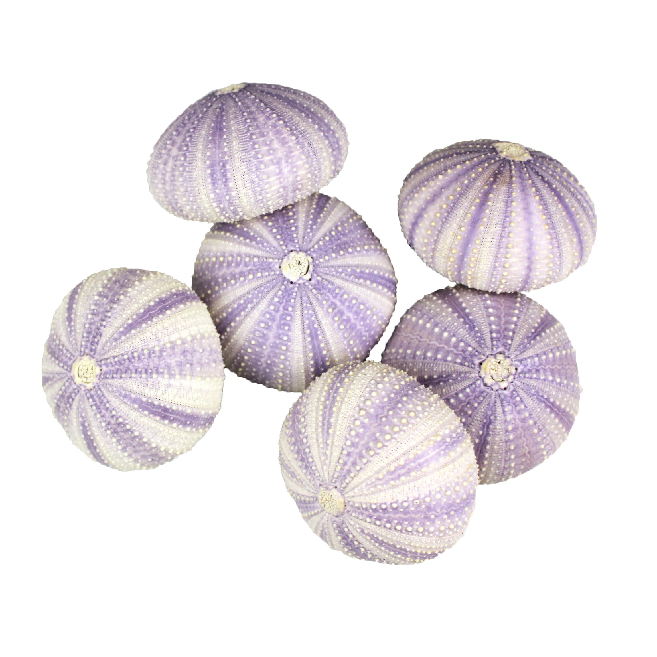 NW Wholesaler - Natural Sea Urchin Shells for Home Decor, Beach Decor, Terrariums, Air Plants, Arts & Crafts (Bundle of 6, Purple)