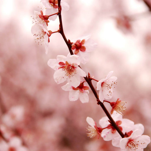 cherry-blossom-wallpapers
