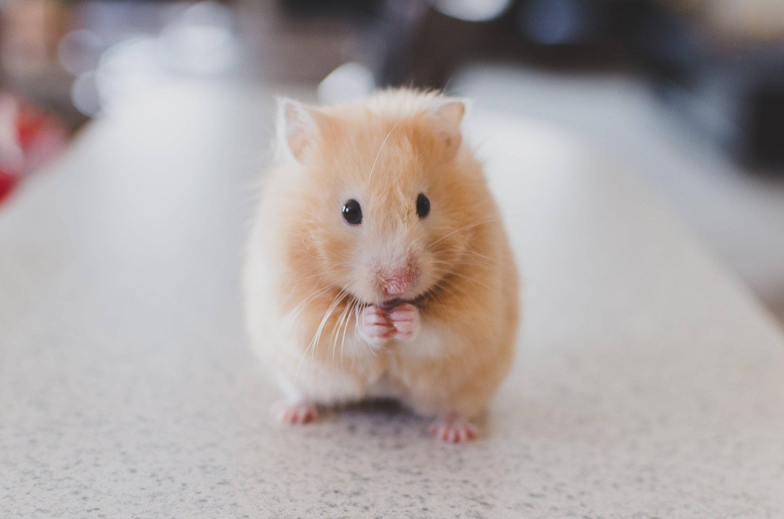 Hamster Animal