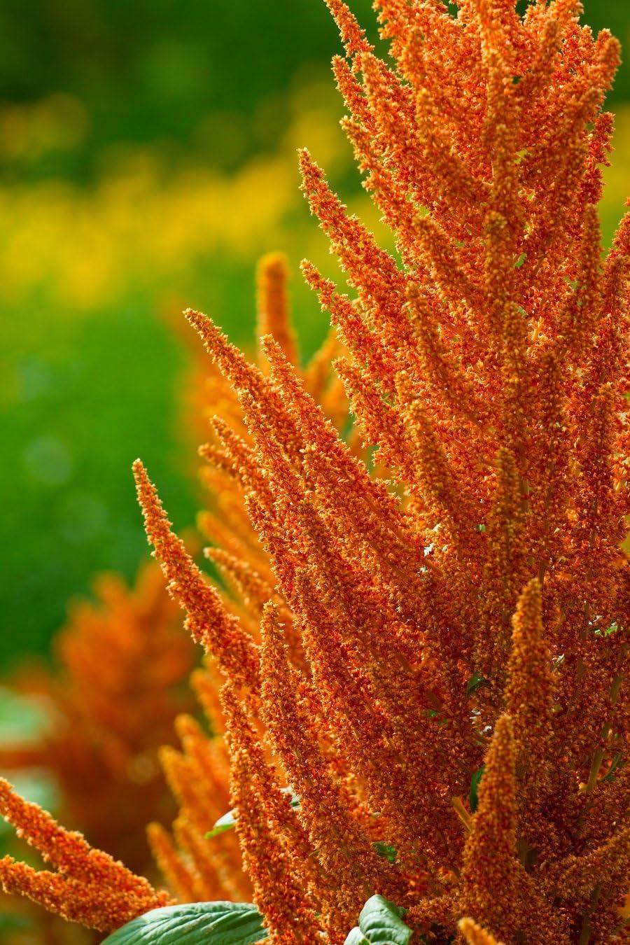 amarante mexicaine amarante rouge plume de prince 700 graines Sang damaranteBronze; Amarante pourpre