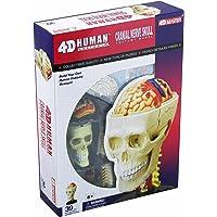 TEDCO Human Anatomy Cranial Skull