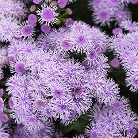 Amazon Com Ageratum Blue Horizon Flower Garden Seeds Approx 1000 Seeds Ageratum Houstonianum Garden Outdoor