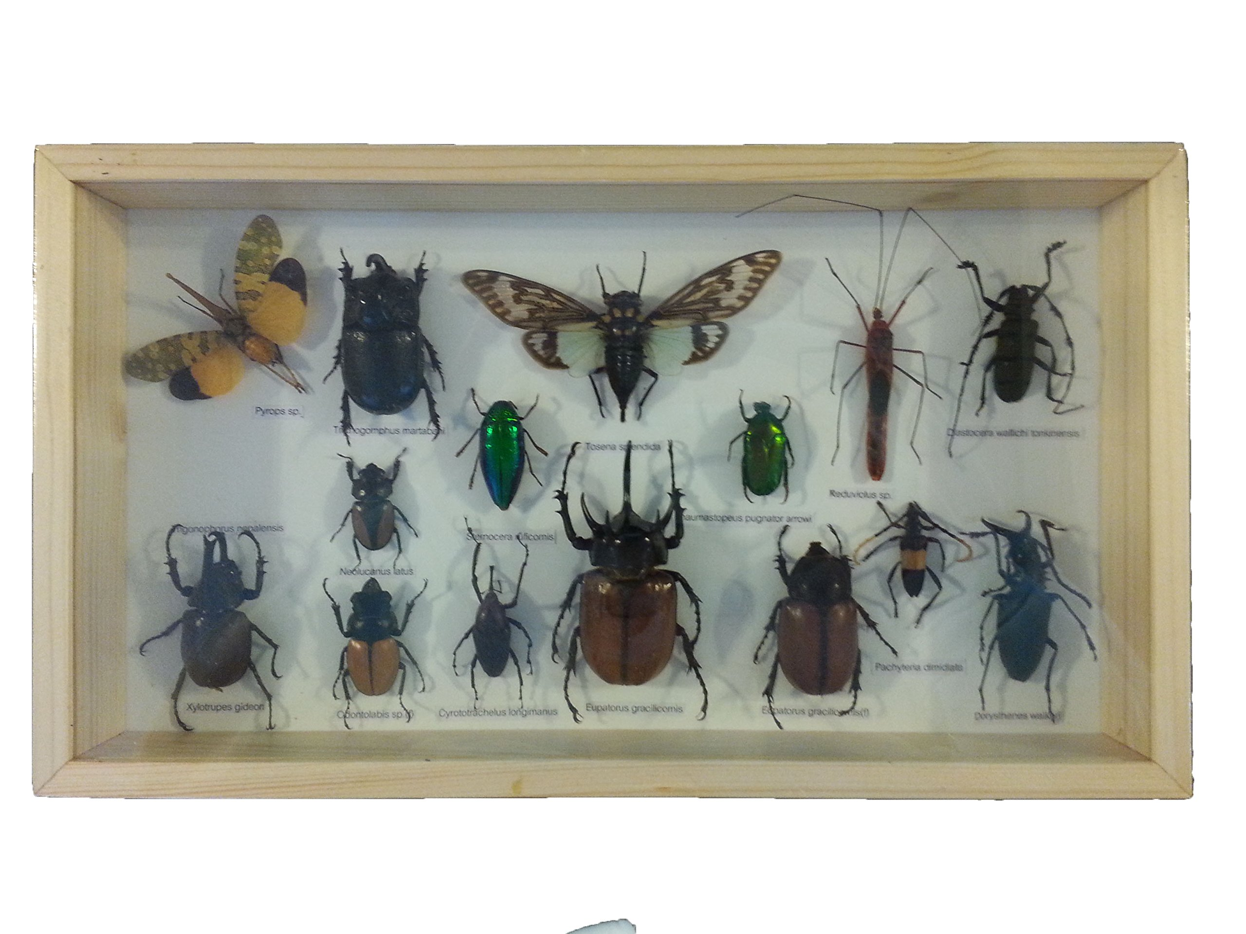 Bunch O'Bugs Insect Specimens - Set In Wood Frame 8x14 Specimens Vary