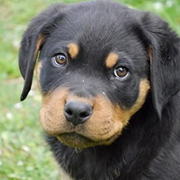 Amazon Com Rottweiler Puppy Wallpaper Hd Wallpapers Of