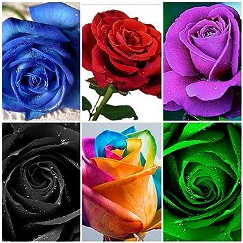BEE Garden (6 Varieties 60 Seeds) Mixed Variety Rose Flower Seeds (Rainbow, Red, Purple, Green, Blue, Black)