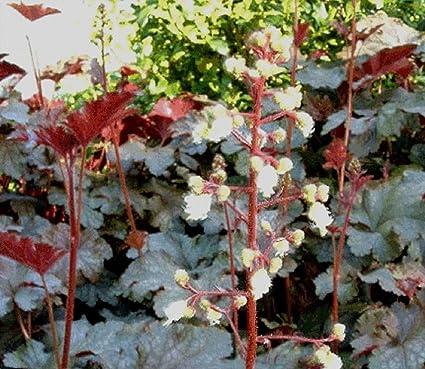 Amazon heuchera white flowering coral bells 50 seeds very rare heuchera white flowering coral bells 50 seeds very rare shade mightylinksfo