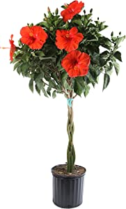 Costa Farms Live Premium Braided Hibiscus Outdoor Plant Color, 2-GAL, 1-Pack, Grower Choice Flowers