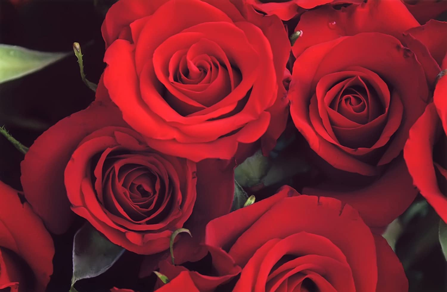 Amazon flowers for delivery on amazon bouquet of 25 red fresh amazon flowers for delivery on amazon bouquet of 25 red fresh roses delivered with free flower food packet long stem rose in bud form izmirmasajfo