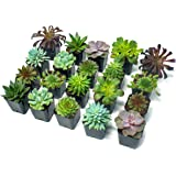 Succulent Plants (20 Pack) Fully Rooted in Planter Pots with Soil | Real Live Potted Succulents / Unique Indoor Cactus…
