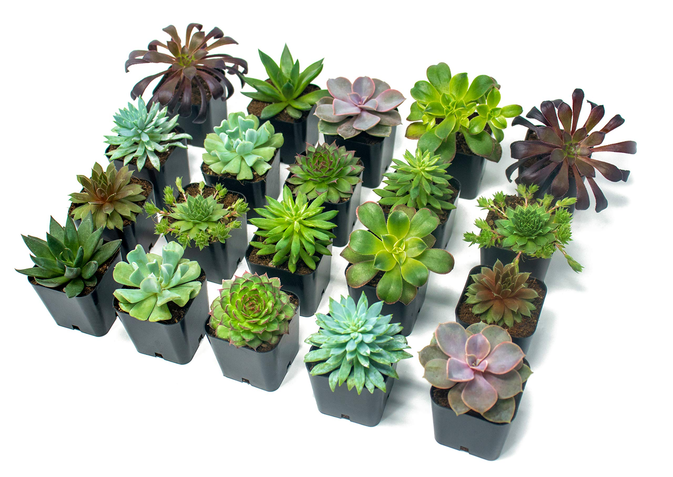 Succulent Plants (20 Pack) Fully Rooted in Planter Pots with Soil | Real Live Potted Succulents / Unique Indoor Cactus Decor by Plants for Pets 1 HAND SELECTED: Every pack of succulents we send is hand-picked. You will receive a unique collection of species that are fully rooted and similar to the product photos. Note that we rotate our nursery stock often, so the exact species we send changes every week. THE EASIEST HOUSE PLANTS: More appealing than artificial plastic or fake faux plants, and care is a cinch. If you think you can't keep houseplants alive, you're wrong; our succulents don't require fertilizer and can be planted in a decorative pot of your choice within seconds. DIY HOME DECOR: The possibilities are only limited by your imagination; display them in a plant holder, a wall mount, a geometric glass vase, or even in a live wreath. Because of their amazingly low care requirements, they can even make the perfect desk centerpiece for your office.