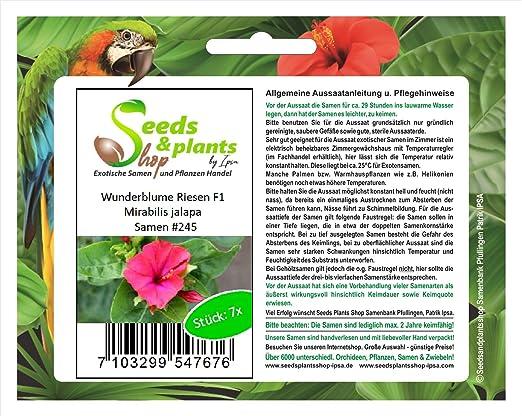 7 arena gigante semillas de F1 Mirabilis jalapa planta jardín #245: Amazon.es: Jardín