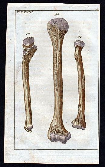 Oberarm Knochen brachium bone Anatomie anatomy Medizin medicine ...