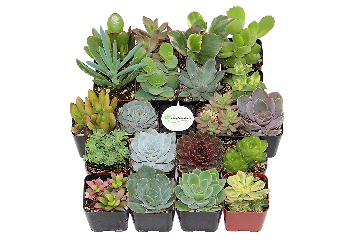 Amazon.com : Shop Succulents Unique Succulent (Collection Of 20) : Garden U0026  Outdoor