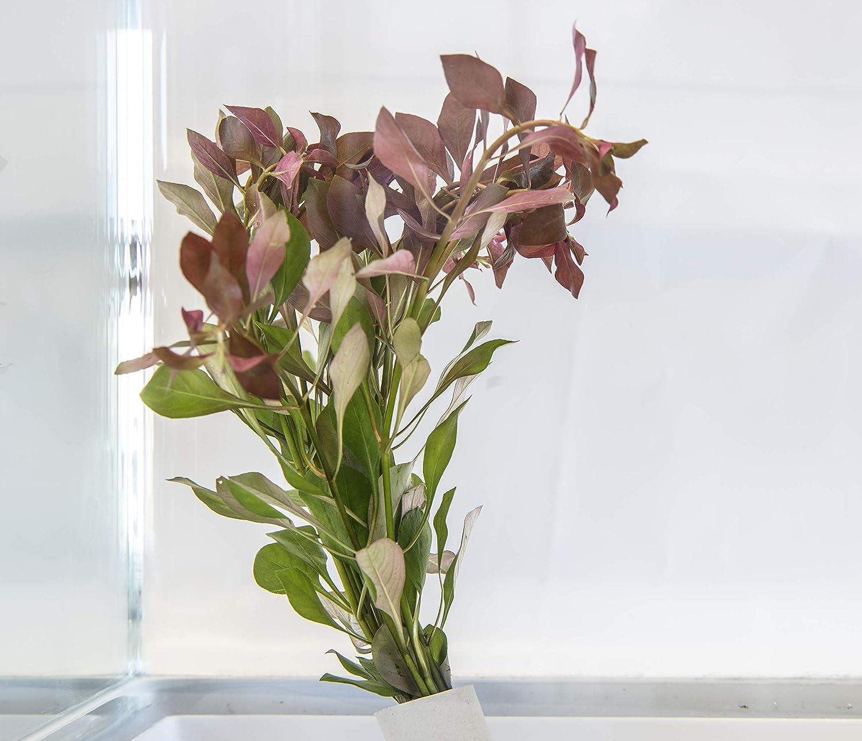 Lincspplants Mixed amount of Tropical Aquatic Plants No Lead 25 Live Aquarium Plants