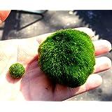 Marimo Moss Ball Large Aquarium Plant Chladophora Sp 3-5 cm