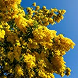 Perfect Plants Acer Pseudoplatanusprinz Handjery Tree In A 12