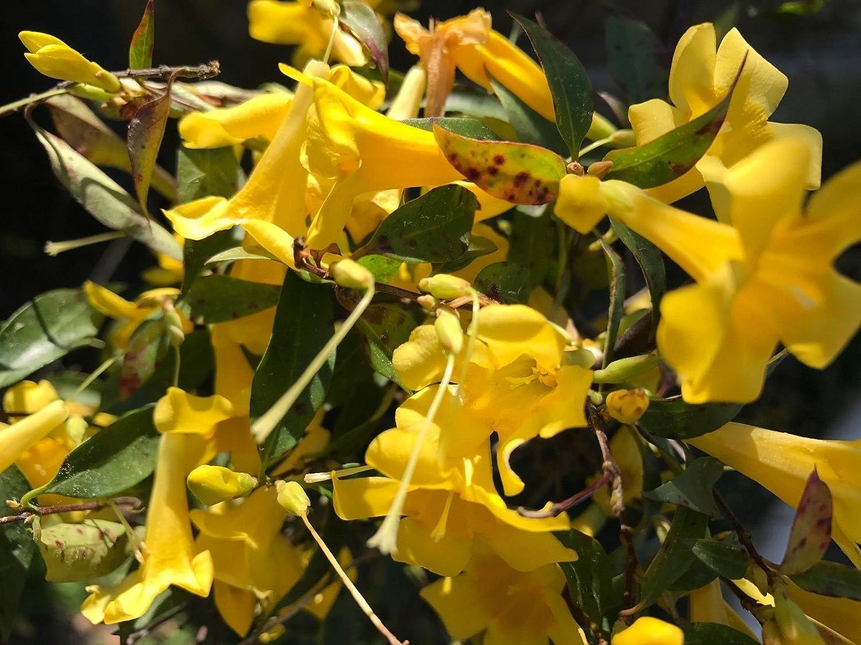 Amazon jasmine vine plant carolina jessamine fragrant yellow amazon jasmine vine plant carolina jessamine fragrant yellow blooms spring 4 inch pot garden outdoor izmirmasajfo