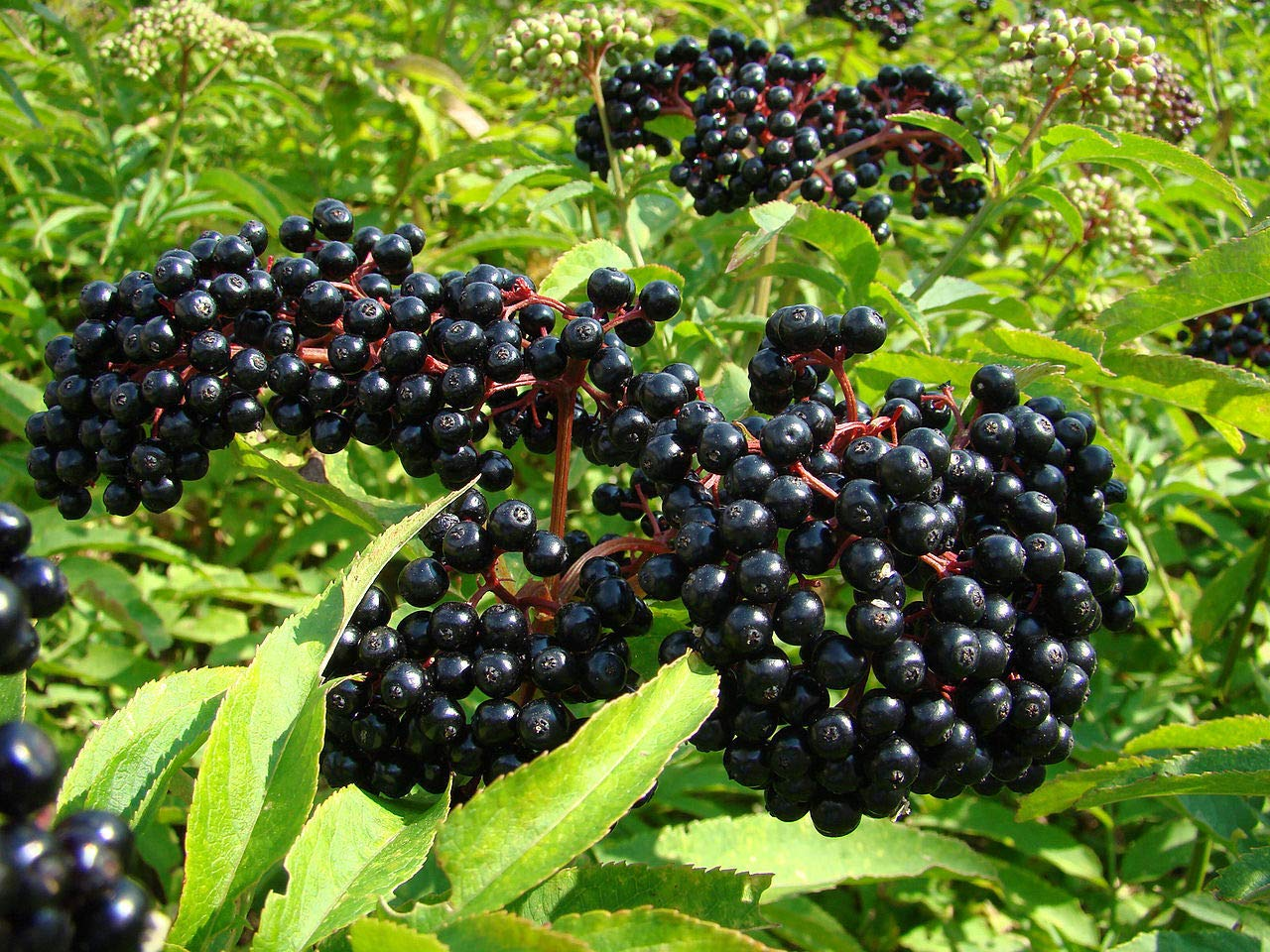 owzoneplant 1 Plant in 2 Gallon Pot Wilder Native Elderberry Bush - Fruit Shrub by owzoneplant (Image #1)