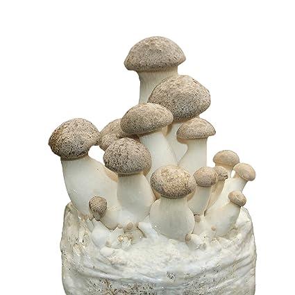 Root Mushroom Farm—King Oyster Mushroom-All in one Gourmet Mushroom Growing  kit