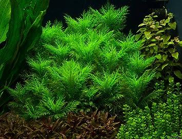 Hygrophila balsamica Broadleaf - x3 Bunch - Plantas Naturales para acuarios: Amazon.es: Productos para mascotas