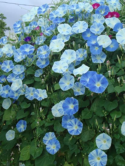 Amazon.com: 40 + platillo volador Morning Glory Semillas 5 ...