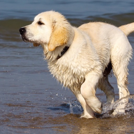 Amazon Com Golden Retriever Wallpaper Hd Wallpapers Of Golden Retrievers Appstore For Android